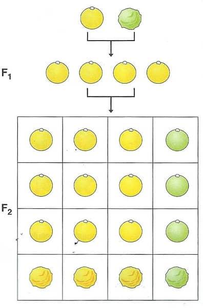 Ereditarietà dei caratteri - la terza legge di Mendel