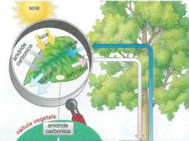 La fotosintesi clorofilliana, spiegato semplice