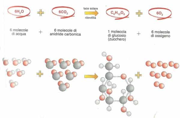 fotosintesi clorofilliana spiegato semplice