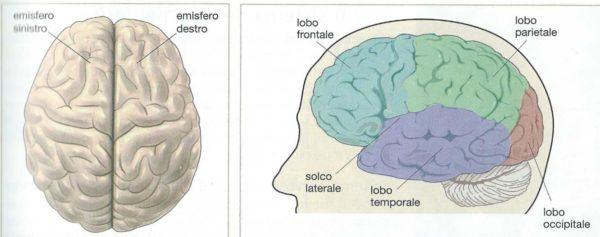 cervello e lobi cerebrali