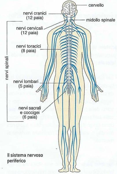 Sistema nervoso periferico