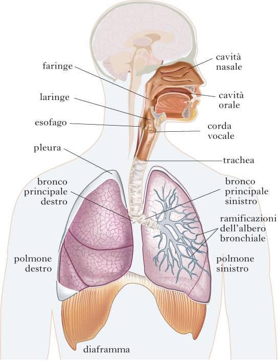 Apparato respiratorio e respirazione