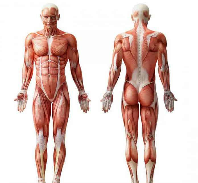 Sistema muscolare: composizione e funzioni