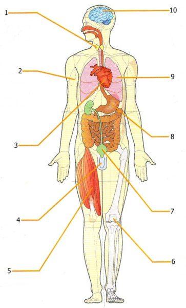 Sistemi e apparati del corpo umano