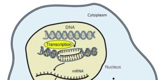 Sintesi proteica: trascrizione del DNA e produzione